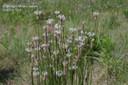 buckhornplantain5