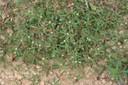 carpetweed10
