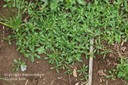 carpetweed9