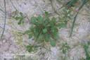carpetweed7