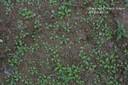 carpetweed6