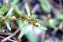 carpetweed1