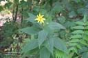 commonsunflower9