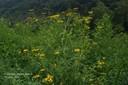 commonsunflower7