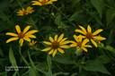 commonsunflower6