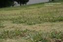 dallisgrass6