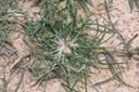 goosegrass10