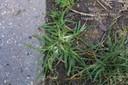 goosegrass5