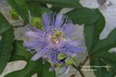 passionflower8