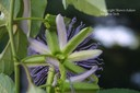 passionflower5